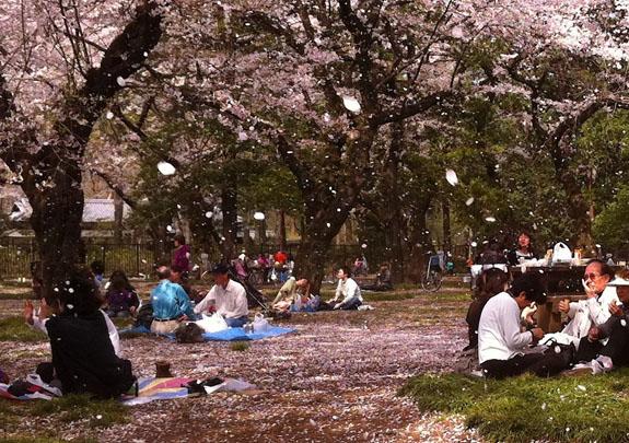 Япония, цветущая сакура